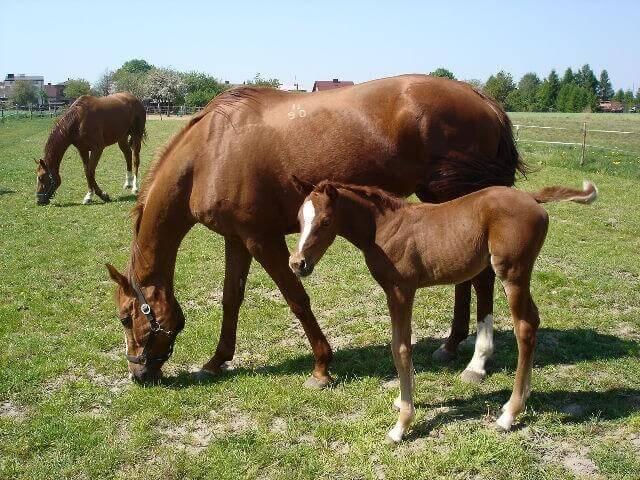 Разведение буденновской породы лошадей