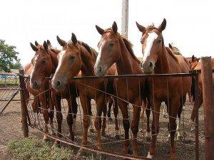 Разведении лошадей буденновскиой породы