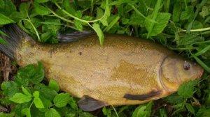 Линь — речная рыба