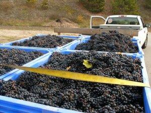 Спелый собранный виноград для вина
