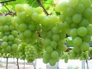Виноградарство Дагестана