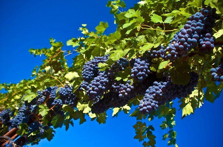 Виноградарство в России: основные проблемы и перспективы