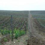 В Дагестане в ушедшем году заложили две тысячи виноградников