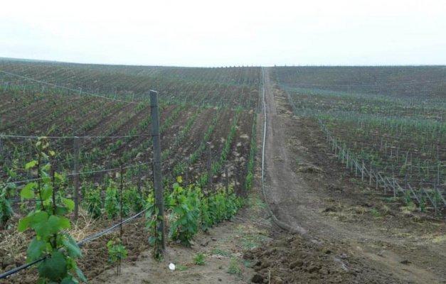 В Дагестане увеличивают площади виноградников