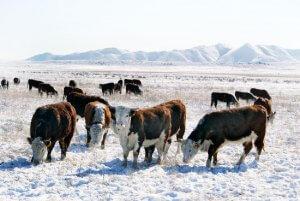 Герефорды в Ивановской области благополуччно перенесли морозы