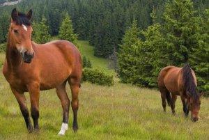 Кбардинские лошади на выпасе