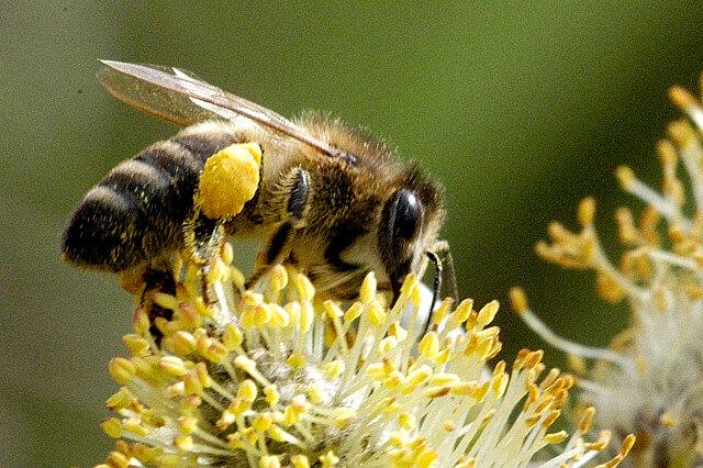 Пчела породы карпатка на цветке