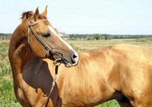 Лошадь донской породы с белой полосой