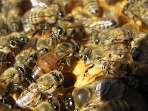 Матка карпатской пчелы