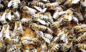 Рой карпатских пчел