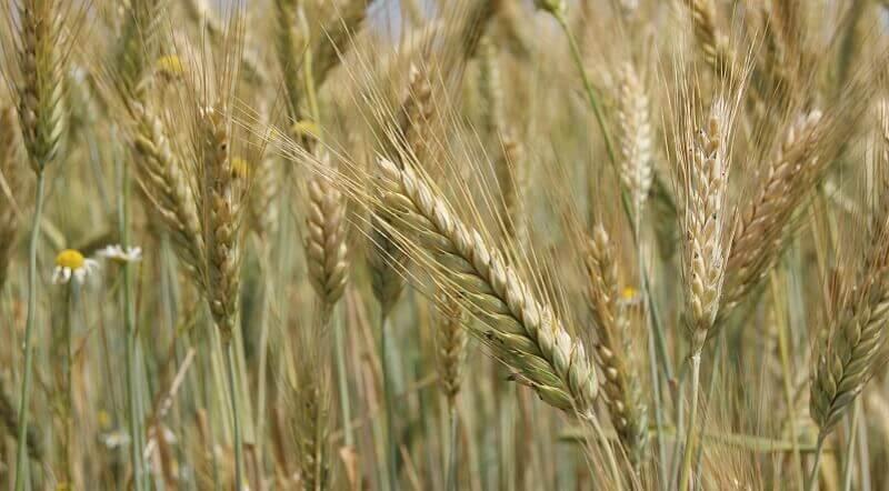 Ржи: виды, особенности и перспективы выращивания