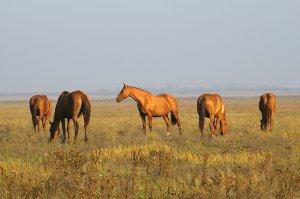 Разведение лошадей донской породы
