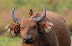 Целебесский карликовый буйвол