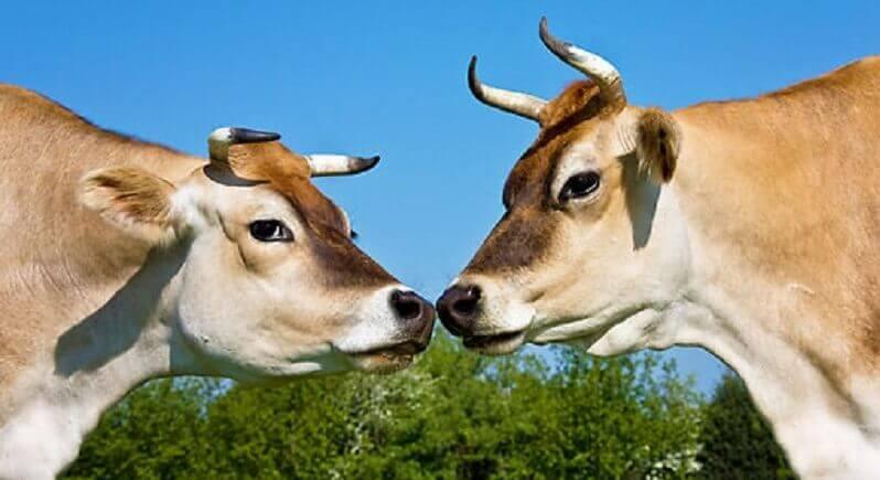Джерсейская корова: особенности разведения и ухода
