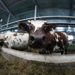 В республике Коми фермы построены, но молока не хватает