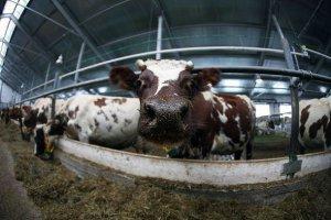 В Республике Коми фермы строятся, а молока не хватает