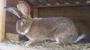 Кролики породы фландр: особенности разведения и ухода