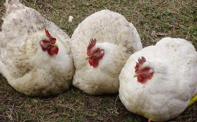 Кроссы кур мясных пород