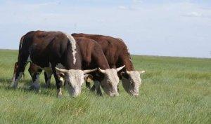Алтайское племпредприятие разводит породу казахская белоговая