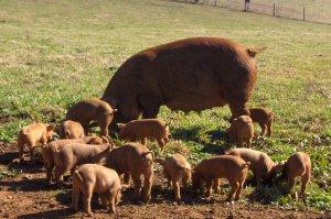 Поросята и свиня дюрок на выгуле