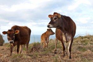 Разведение джерсейских коров