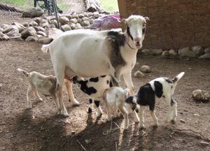 Разведение коз породы ламанча