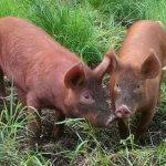 Свиньи дюрок: особенности разведения и ухода
