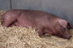 Свинья юрок спит