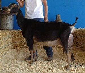 Продуктивность коз породы ламанча