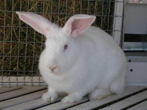 Калифорнийский белый кролик