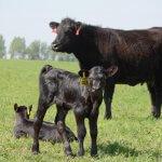 ГК «Зеленая долина» купила племенного элитного быка-производителя