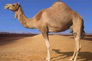 Верблюд дромадер в пустыне