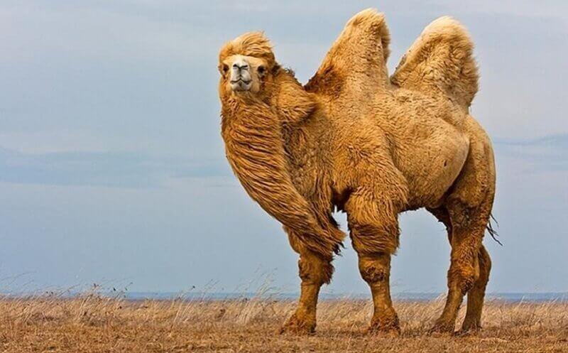 Бактриан и дромедар в современном верблюдоводстве