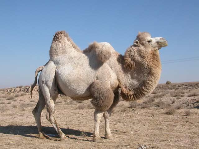 Двугорбый верблюд (бактриан)