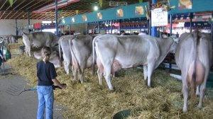 Коровы швицкой породы на ферме