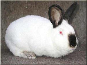 Калифорний кролик