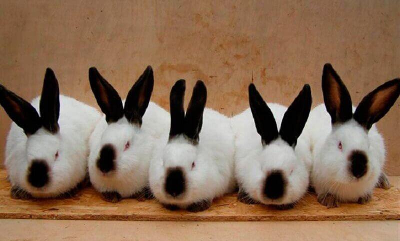 Калифорнийский кролик: особенности и перспективы разведения
