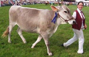 Корова бурая швицкая