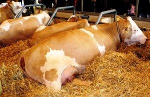 Коровы симментальской породы на ферме