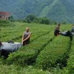 В Краснодарском крае возрождается производство российского чая