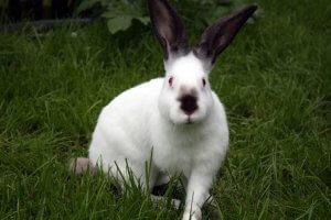 Кролик калифорнийский на траве