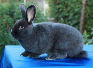 Венский голубой кролик: особенности и перспективы разведения