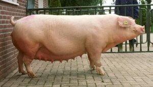 Ландрас - порода свиней