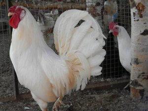 Петух и курица породы леггорн