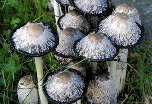 Навозник белый – лохматый гриб