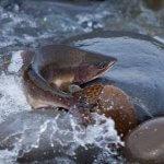 Сохранять дикий вид атлантического лосося будут Россия и Исландия