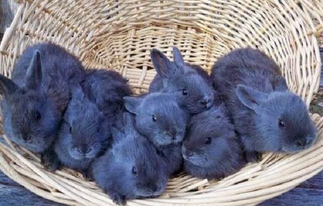 Маленькие кролики породы венский голубой