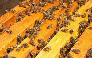 Пчелосемьи карпатской породы