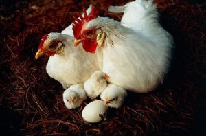 Петух, курица и цыплята породы леггорн.