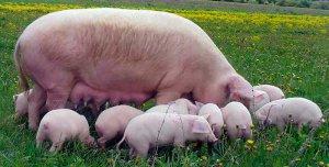 Свинья с поросятами породы ландрас на выпасе